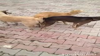 NEW FUNNY 3 DOGS MEETING - CHAUTARE SERAL