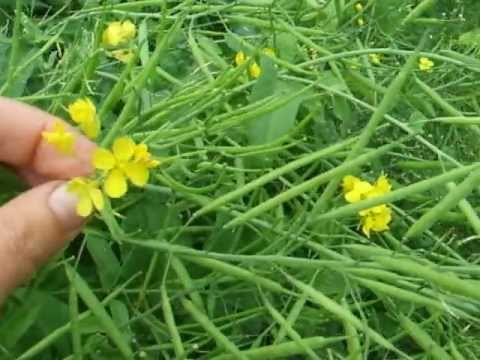 Wild edibles: how to eat rapeseed leaves and flowers
