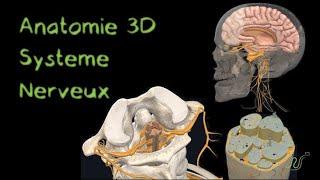 Système nerveux en 3D (Naturosoutien)