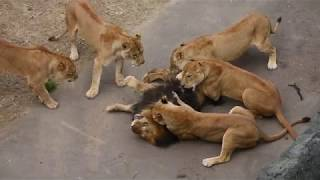 Lion roars as he gets eaten alive by female lions at the Zoo. | Lioness vs lion | Lion vs lion.