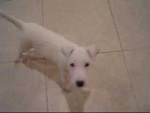Jack Rus Terrier 16 Weeks Puppy Tricks