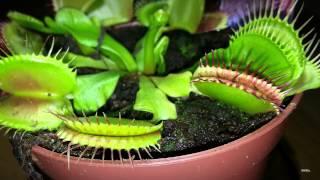 Venus Flytrap digestive cycle