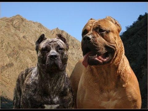 Dog Presa Canario Vs Cane Corso Who Would Win In A Fight Of Dogs