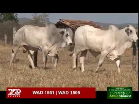 LOTE 55 - WAD 1551 | WAD 1505