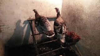 Inne zwierzęta na gospodarstwie(kury, kaczki, perliczki i indyki) #23