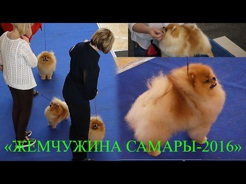 Как проходит выставка собак (шпицы на выставке) «ЖЕМЧУЖИНА САМАРЫ-2016»