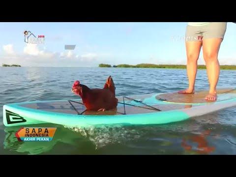 Download Gaul Abis, Ayam Ini Hobi Wisata Danau