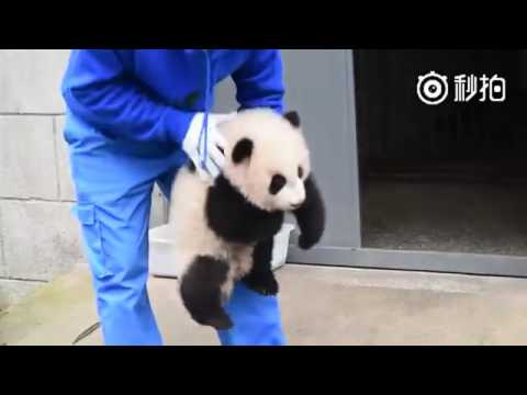 The keeper at Wolong National Nature Reserve shows you how to clean a panda cub