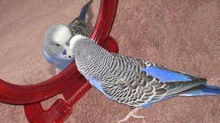 Говорящий попугай Кеша Неудавшееся