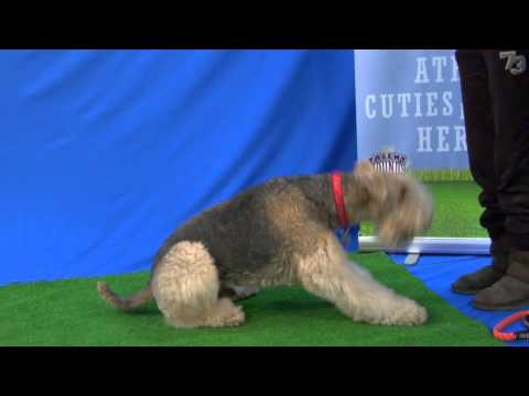 Handsome Airedale Terrier Snowby Shows Off for Talent Hounds