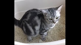 Pooping American Shorthair Cat