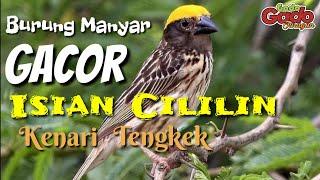 Download Burung Manyar Kepala Emas    GACOR    Isian Cililin    Kenari    Tengkek