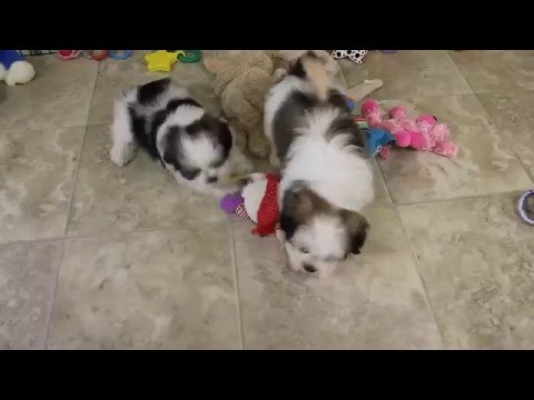 Lhasa Apso Mix Puppies For Sale
