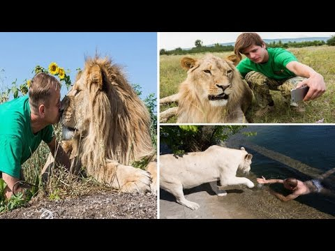 Friendly Lion loves cuddling up and even giving to humans a KISS in Lion Park Crimea