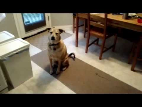 funny--dog-waiting-food-well-desciplined