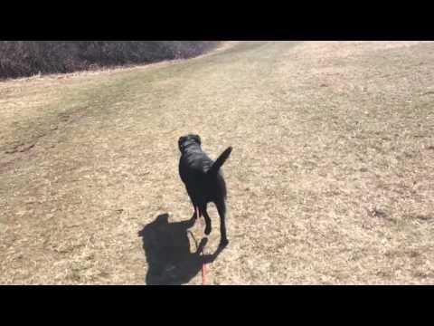 Training | Remote Collar Recall | Solid K9 Training Dog Training