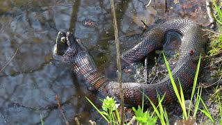 Northern Water Snake Eats Large Bullfrog Backward - Violent Footage