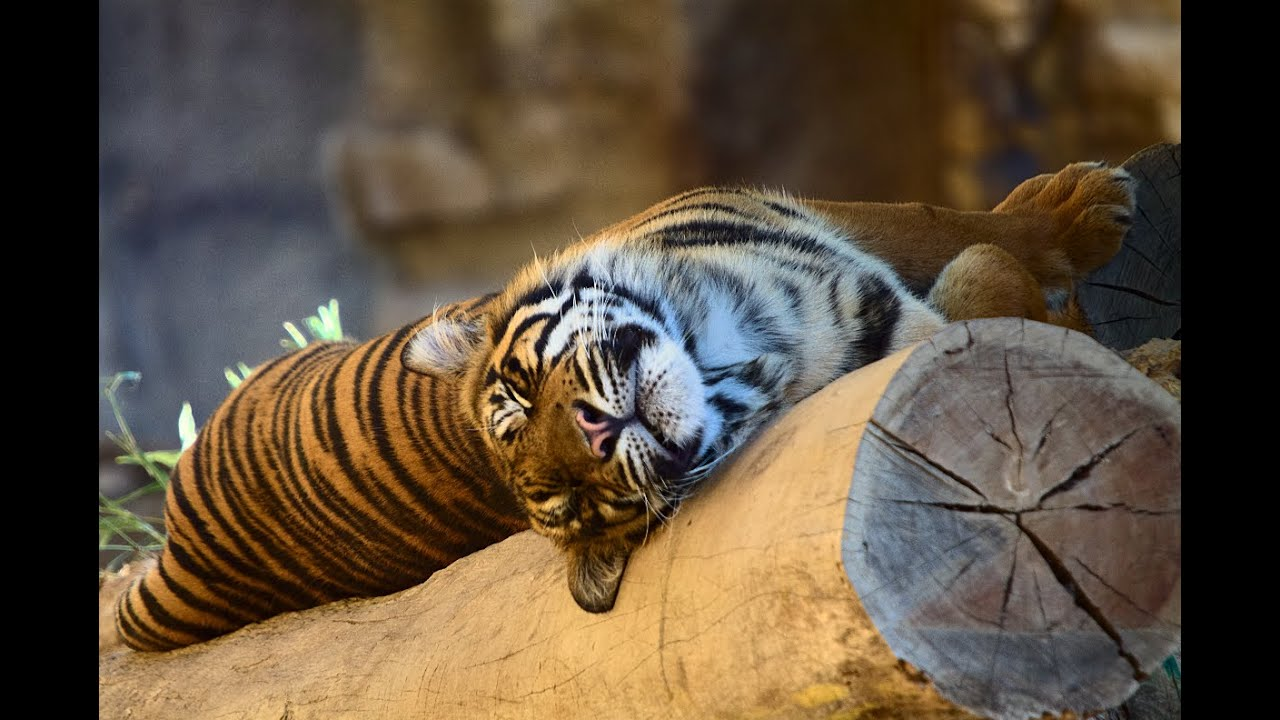 Sleeping Tiger by Spagheth on DeviantArt