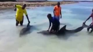 Somali fishermen guide terrified dolphins back to the sea