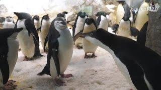 AWS なまいきそうなアデリーペンギンの子供-Adelie penguin