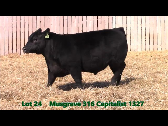 Musgrave Angus Lot 24