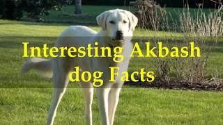 Interesting Akbash dog Facts