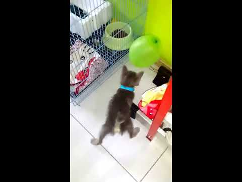 Funny Kitten Playing Ballons - Kucing Lucu Main Balon