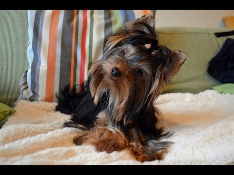 Pepper - Yorkshire Terrier - 3 Weeks Residential Dog Training