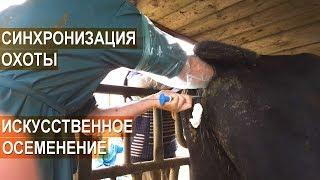 Синхронизация охоты и искусственное осеменение мясного скота в КФХ Александра Москвина.