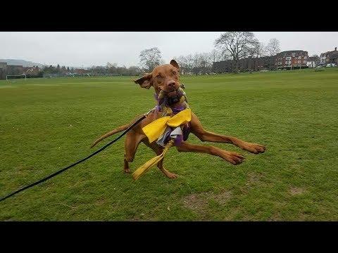 Yofi - Hungarian Viszla - 3 Weeks Residential Dog Training