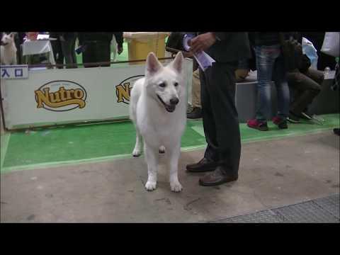 White Shepherd in Japan International dog show 2019