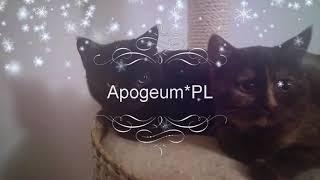 Hodowla kotów brytyjskich Apogeum*PL