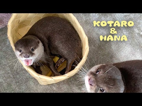 hana-the-otter-likes-to-hang-out-in-the-basket