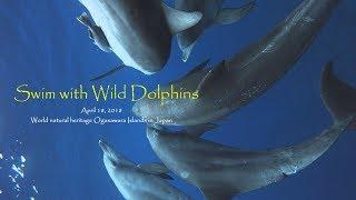 【Dolphin Swimming of April 18, 2018】 海に入るとすぐに群れの姿が見...