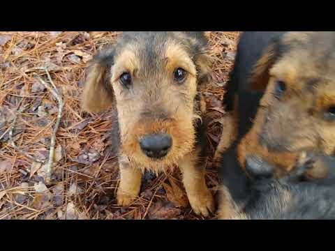Off Back Porch AKC Purebred Airedale Terrier Puppy Puppies For Sale On February 12, 2019