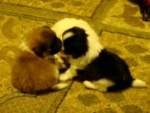 Pomeranian/shitzu puppies - YouTube