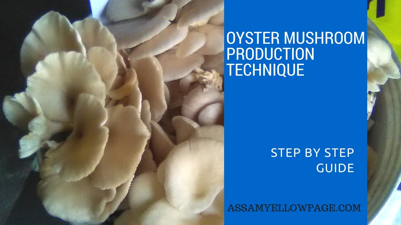 Production Technology of Oyster Mushroom, Step by Step Guide