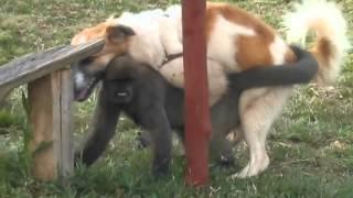 Perro Sexo con Mono