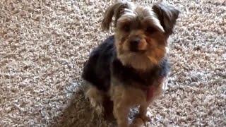 【大人気犬】犬のヨークシャーテリア特集!Yorkshire Terrier ヨークシ...