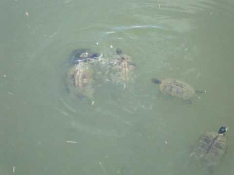 Feedinbg Turtles And Fish