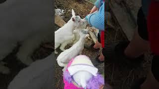 кормим козлят зааненской породы коз
