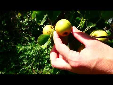 shinseiki-nashi-(pyrus-pyrifolia)-birne-ausdünnen-garten-1.-8.-2019;-fz82/83