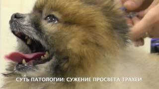 Коллапс трахеи карликовых пород собак