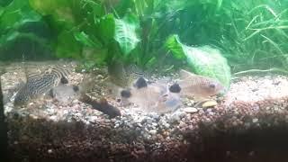 видео Коридорас пятнистохвостый