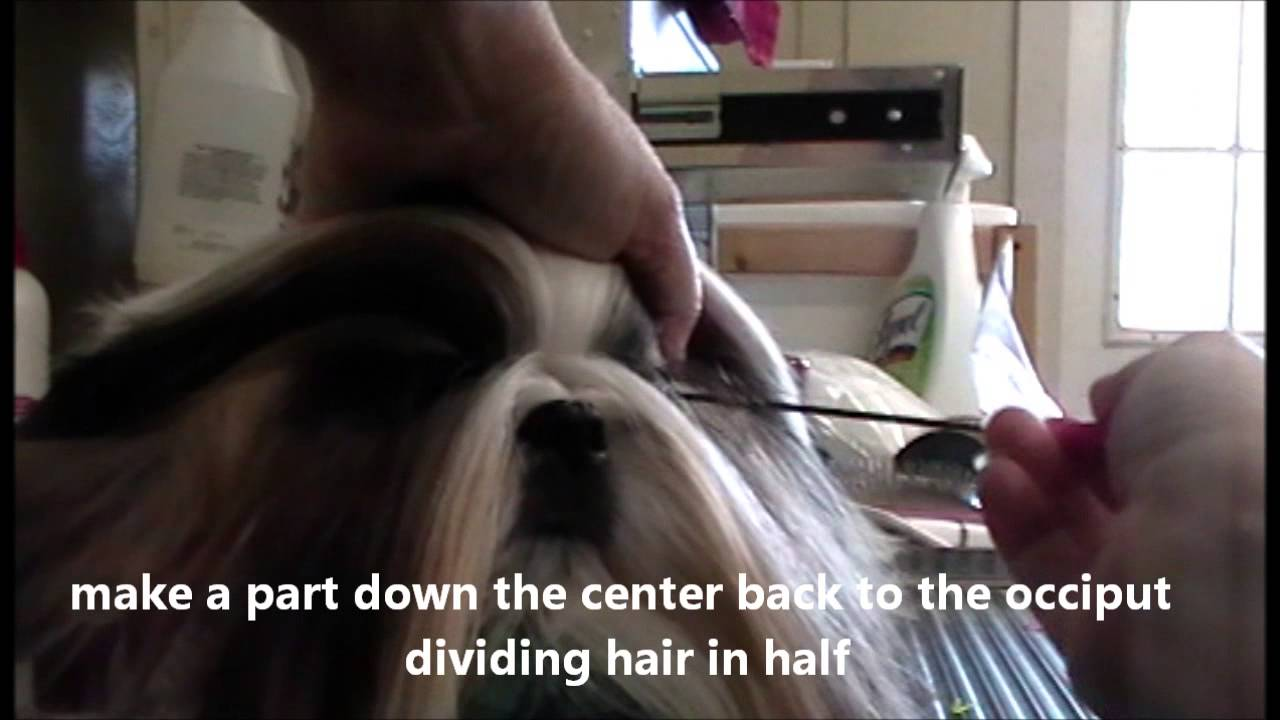 Maintenance Top Knot Shih Tzu Youtube