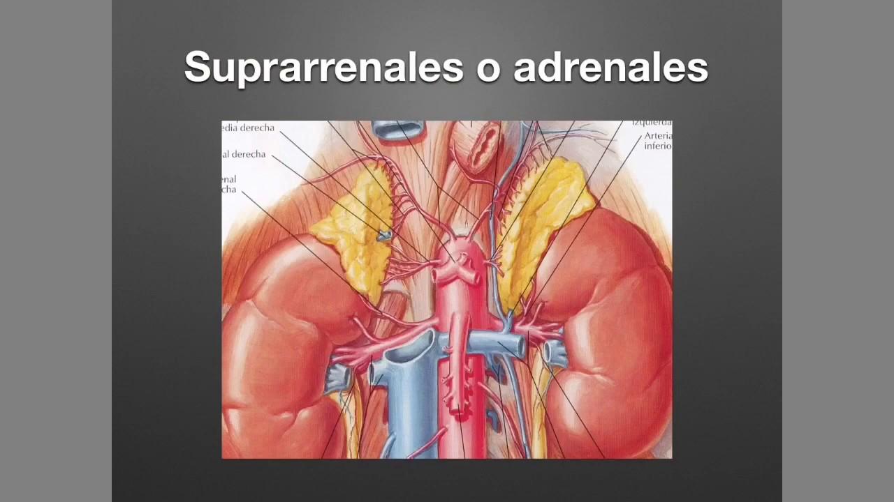 Suprarrenales: Anatomía y Fisiología - YouTube