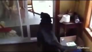 差不多從第10秒開始,就被這隻拉布拉多犬逗到笑到不能自己 thumbnail