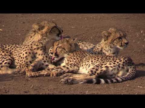 The big cats of Mashatu