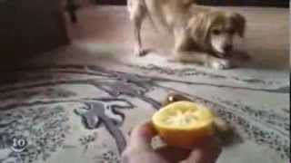 Собака и лимон! Супер смотреть всем.