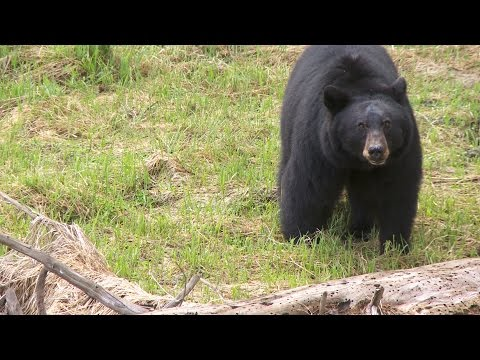 Black Bears - Yosemite Nature Notes - Episode 26